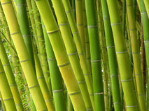 The bamboo jungle Stock Photography