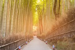 Bamboo jungle tropical forest with walking way. Kyoto Japan Royalty Free Stock Image