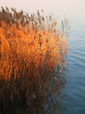 Bamboo in the lake. A closeup of some bamboos at sunset royalty free stock photo