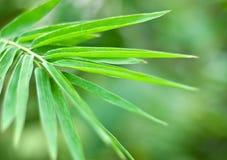 Bamboo leaf Royalty Free Stock Image