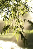 Bamboo leaf Stock Images