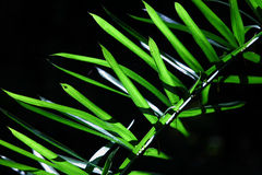 Bamboo leaf. The sun shine on the bamboo leaf with dark background Stock Images