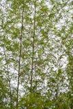 Bamboo leaf on bamboo tree background Royalty Free Stock Image