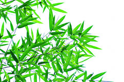 Bamboo leaf branches. Branches of green bamboo leaf on white Royalty Free Stock Photo