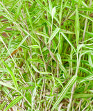 Bamboo leaf closeup background. Macro of bamboo leaf closeup background Royalty Free Stock Photo