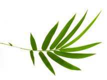 Bamboo leaf isolated on white background. include clipping path stock photo