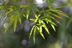 Bamboo leaf. Bamboo is a tribe of flowering perennial evergreen plants in the grass family Poaceae, subfamily Bambusoideae, tribe Bambuseae Stock Photography