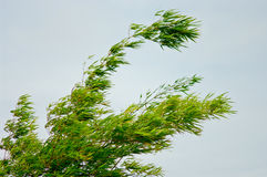 Bamboo leaf with wind Stock Photo