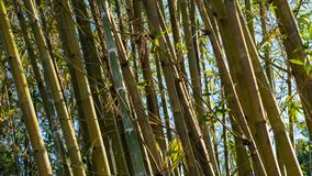 Bamboo Leans to the Left with Sun on the Right stock photo