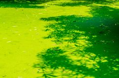Bamboo leave shadow on green pond Stock Photo