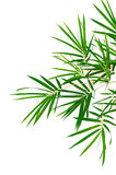 Bamboo Leaves. Isolated white background royalty free illustration