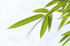 Free Bamboo Leaves Stock Photos - 15560823