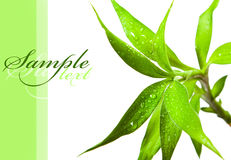 Bamboo leaves. Beautiful bamboo leaves with drops on white background Stock Photo