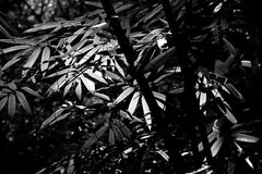 Bamboo leaves. In black and white Stock Photos