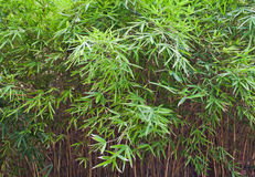Bamboo- leaves Royalty Free Stock Photo