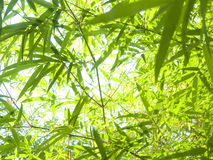 Bamboo leaves . Royalty Free Stock Images