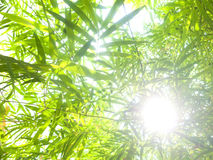 Bamboo leaves . Fresh bamboo leaves border, green plant stalk at summer in the garden Royalty Free Stock Photography