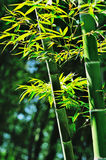Bamboo with leaves Royalty Free Stock Photo