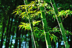 Bamboo with leaves Royalty Free Stock Photography