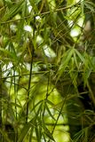 Bamboo leaves. Close-up of Bamboo leaves in El Junque Puerto Rico Royalty Free Stock Images