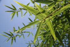 Bamboo leaves. Against blue sky in background Stock Image