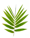 Bamboo leaves. On white background Stock Images