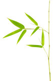 Bamboo leaves. Isolated on a white background royalty free stock images