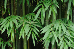 Bamboo leaves background Royalty Free Stock Photography