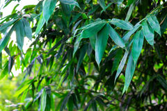 Bamboo leaves background. Stock Photos