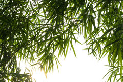 Bamboo leaves background isolate. Stock Photography