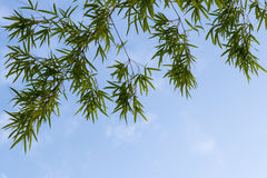 Bamboo leaves background isolate. Royalty Free Stock Photography