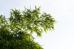 Bamboo leaves background isolate. Stock Images