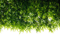 Bamboo leaves backlit. Royalty Free Stock Image