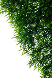 Bamboo leaves backlit. Royalty Free Stock Photos