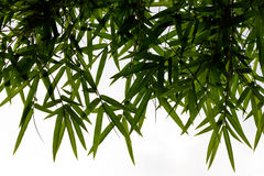 Bamboo leaves backlit. Stock Photos