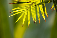 Bamboo leaves. Stock Photography