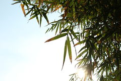 Bamboo leaves. On the blue sky for background Royalty Free Stock Photography