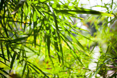 Bamboo leaves close-up background. In the rainforest Stock Image