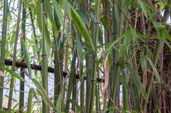 Bamboo leaves close up in a bright sun. IBamboo leaves close up in a bright sun in high quality Royalty Free Stock Image