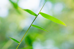 Bamboo leaves Royalty Free Stock Images