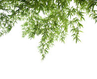 Bamboo leaves collection Royalty Free Stock Images