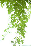 Bamboo leaves collection Royalty Free Stock Photo