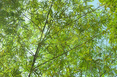 Bamboo leaves in forest Stock Images