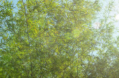 Bamboo leaves in forest Stock Photo