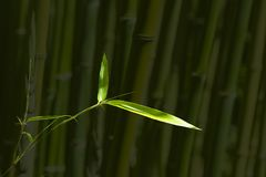 Bamboo leaves in a bamboo forest,Green nature background.  royalty free stock images
