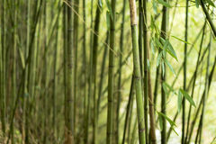 Bamboo leaves in the forest Stock Photos