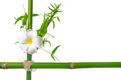 Bamboo leaves with frangipani flower frame made of stems is isol Stock Image
