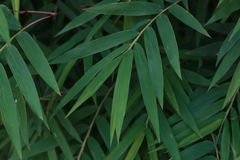 Bamboo leaves green closeup for background Stock Image
