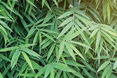 Bamboo leaves green with sunlight focus. For background Stock Photo