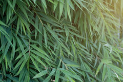 Bamboo leaves green with sunlight focus. For background Royalty Free Stock Image